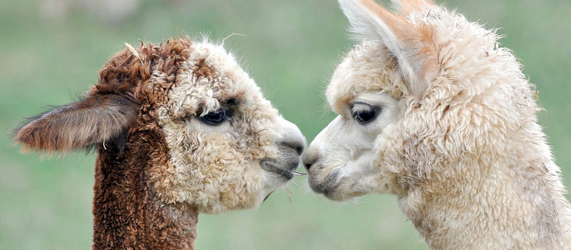 Alpaca rugs and scarves deserve the special cleaning we can give them